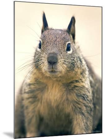 Beecheys Ground Squirrel, Close up Portrait, California, USA-David Courtenay-Mounted Photographic Print