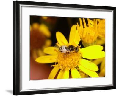 Barred Snout Soldier Fly, Adult Feeding on Yellow Flower, UK-Keith Porter-Framed Photographic Print