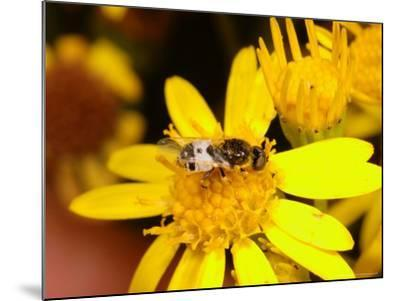 Barred Snout Soldier Fly, Adult Feeding on Yellow Flower, UK-Keith Porter-Mounted Photographic Print
