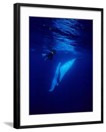 Humpback Whale, with Diver, Polynesia-Gerard Soury-Framed Photographic Print