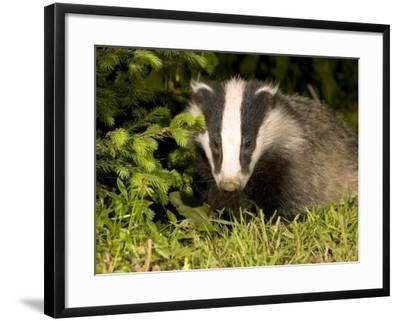 Badger, Foraging, Vaud, Switzerland-David Courtenay-Framed Photographic Print