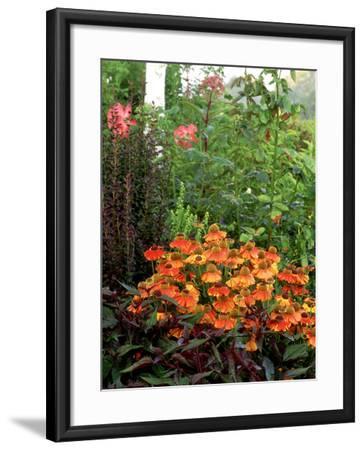 Black Eyed Susan-Ron Evans-Framed Photographic Print