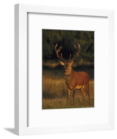Red Deer, Stag, UK-Mark Hamblin-Framed Photographic Print