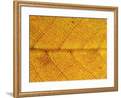 Close-up of Leaf Showing Vein Structure and Autumn Colour, Scotland-Mark Hamblin-Framed Photographic Print