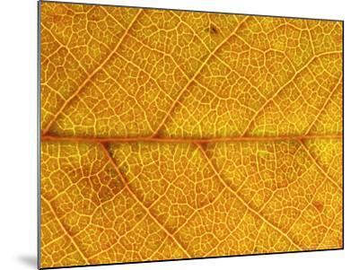 Close-up of Leaf Showing Vein Structure and Autumn Colour, Scotland-Mark Hamblin-Mounted Photographic Print