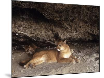 Mountain Lion, Adult and Young Cub in Den, Rocky Mountains-Daniel J. Cox-Mounted Photographic Print