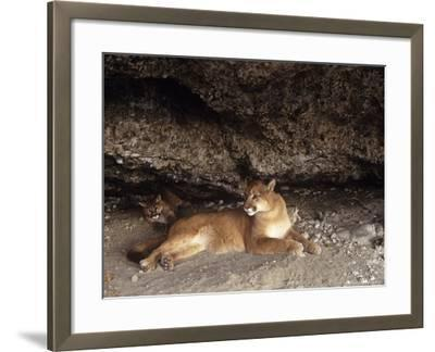 Mountain Lion, Adult and Young Cub in Den, Rocky Mountains-Daniel J. Cox-Framed Photographic Print