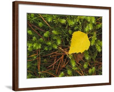 Silver Birch Leaf Close up on the Forest Floor, UK-Mark Hamblin-Framed Photographic Print