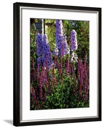 Pink and Purple Summer Border, Pink Delphinium and Purple Pink Flowers of Salvia X Sylvestris-Ron Evans-Framed Photographic Print