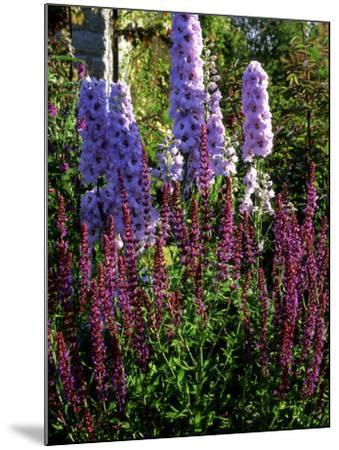 Pink and Purple Summer Border, Pink Delphinium and Purple Pink Flowers of Salvia X Sylvestris-Ron Evans-Mounted Photographic Print