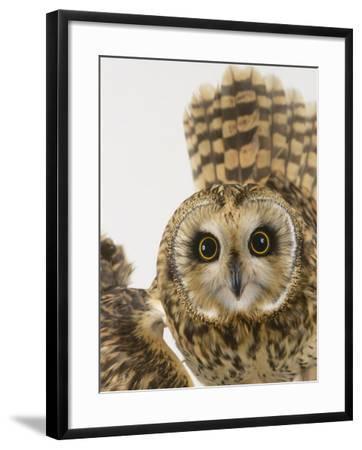 Short-Eared Owl, St. Tiggywinkles Wildlife Hospital, UK-Les Stocker-Framed Photographic Print