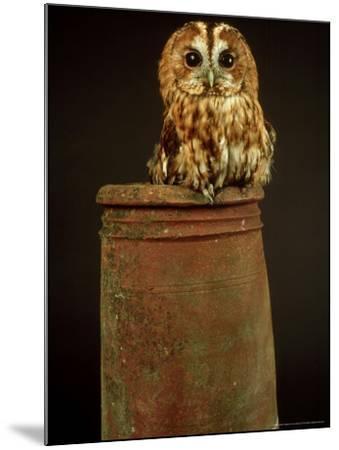 Tawny Owl, UK-Les Stocker-Mounted Photographic Print