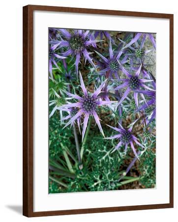 Eryngium Bourgatii, Graham Stuart Thomas Selection, Blue Flower Heads, Showing Green Foliage-Lynn Keddie-Framed Photographic Print