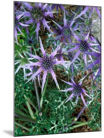 Eryngium Bourgatii, Graham Stuart Thomas Selection, Blue Flower Heads, Showing Green Foliage-Lynn Keddie-Mounted Photographic Print