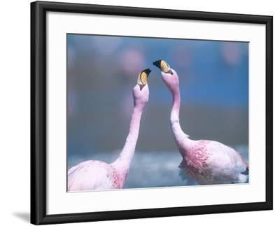 Jamess Flamingo, Males Squabbling, Bolivia-Mark Jones-Framed Photographic Print