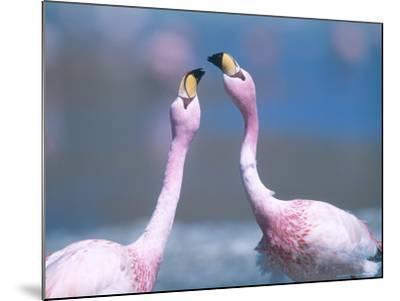 Jamess Flamingo, Males Squabbling, Bolivia-Mark Jones-Mounted Photographic Print