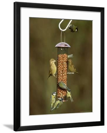 Tits and Other Garden Birds on Feeder, Winter-David Tipling-Framed Photographic Print
