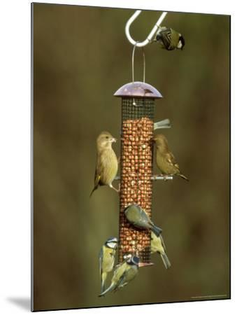 Tits and Other Garden Birds on Feeder, Winter-David Tipling-Mounted Photographic Print