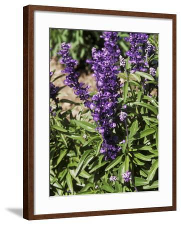 Salvia Farinacea (Mealy-Cup Sage) in Flower-Michele Lamontagne-Framed Photographic Print