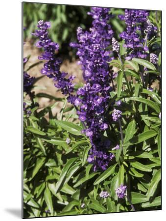 Salvia Farinacea (Mealy-Cup Sage) in Flower-Michele Lamontagne-Mounted Photographic Print
