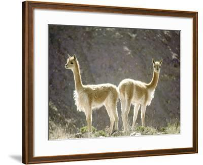 Vicuna, Wild High Andes Cameloid, Peru-Mark Jones-Framed Photographic Print