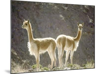 Vicuna, Wild High Andes Cameloid, Peru-Mark Jones-Mounted Photographic Print