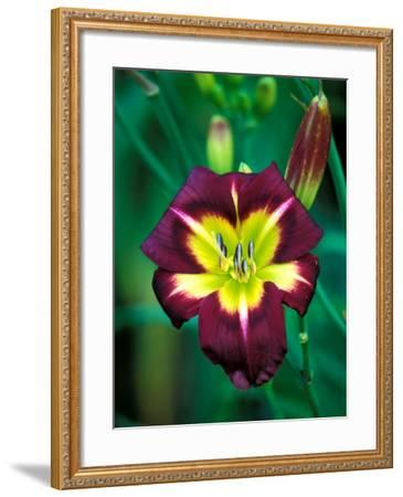 "Hemerocallis ""Night Beacon,"" Close-up of Red Flower Heads-Lynn Keddie-Framed Photographic Print"