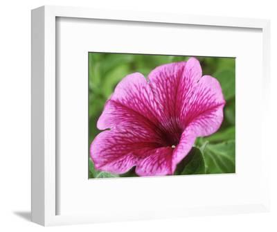 Petunia Strawberry Frost (Conchita Series)-Chris Burrows-Framed Photographic Print