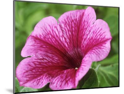 Petunia Strawberry Frost (Conchita Series)-Chris Burrows-Mounted Photographic Print