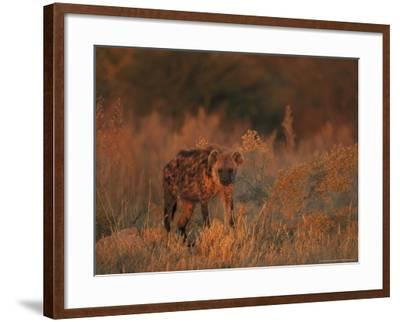 Spotted Hyena, Adult in Dawn Light, Southern Africa-Mark Hamblin-Framed Photographic Print