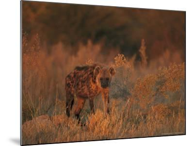 Spotted Hyena, Adult in Dawn Light, Southern Africa-Mark Hamblin-Mounted Photographic Print