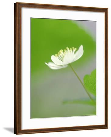 Rue Anemone, Anemonella Thalictroides Flower, Great Smoky Mtn National Park, TN-Adam Jones-Framed Photographic Print
