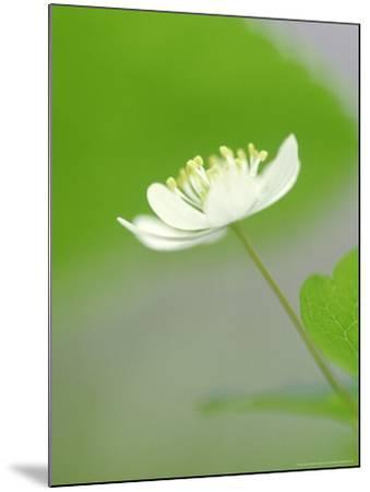 Rue Anemone, Anemonella Thalictroides Flower, Great Smoky Mtn National Park, TN-Adam Jones-Mounted Photographic Print