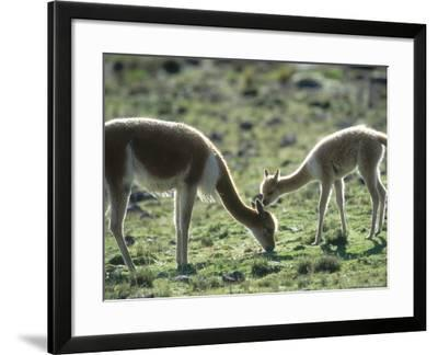 Vicuna, Mother with 3 Week Old Baby, Peruvian Andes-Mark Jones-Framed Photographic Print