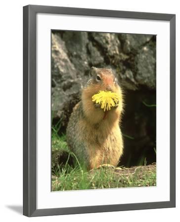 Columbian Ground Squirrel Eating Dandelion Jasper National Park, Canada-Adam Jones-Framed Photographic Print