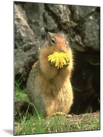 Columbian Ground Squirrel Eating Dandelion Jasper National Park, Canada-Adam Jones-Mounted Photographic Print