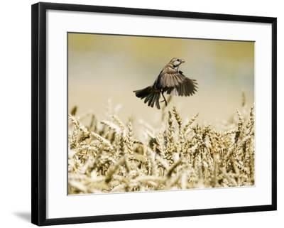 Sparrow, Flying Over Wheat Field, Switzerland-David Courtenay-Framed Photographic Print
