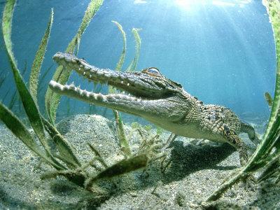 Saltwater Crocodile, Papua New Guinea-Tobias Bernhard-Framed Photographic Print