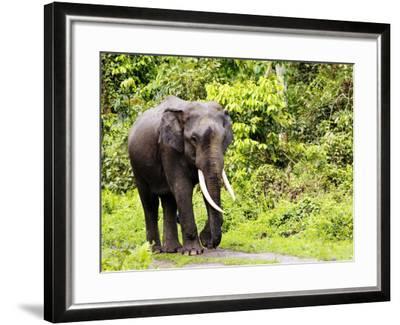 Asian Elephant, Male Walking on Track, Assam, India-David Courtenay-Framed Photographic Print
