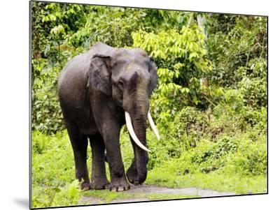 Asian Elephant, Male Walking on Track, Assam, India-David Courtenay-Mounted Photographic Print