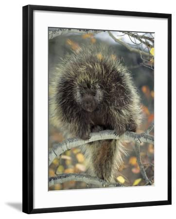 Porcupine in Aspen Tree in Autumn-Daniel J. Cox-Framed Photographic Print