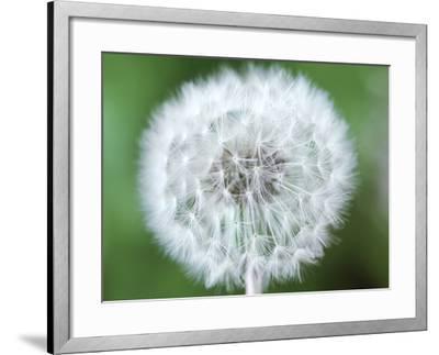 Taraxacum Officinale (Dandelion), Close-up of Seed Head-Chris Burrows-Framed Photographic Print
