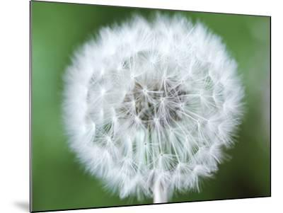 Taraxacum Officinale (Dandelion), Close-up of Seed Head-Chris Burrows-Mounted Photographic Print