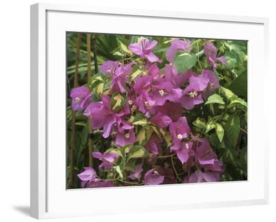 """Bougainvillea """"Turkish Delight"""" Close-up of Flowers-Michele Lamontagne-Framed Photographic Print"""