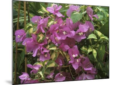 """Bougainvillea """"Turkish Delight"""" Close-up of Flowers-Michele Lamontagne-Mounted Photographic Print"""