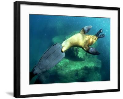 Diver Playing with Californian Sea Lion, Mexico-Tobias Bernhard-Framed Photographic Print