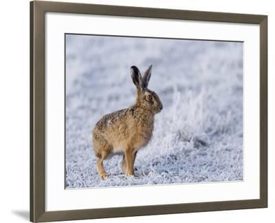 Common Hare, Standing in Haw-Frost Field, Lancashire, UK-Elliot Neep-Framed Photographic Print