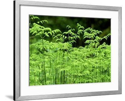 Oak Fern, Inverness-Shire, Scotland-Iain Sarjeant-Framed Photographic Print