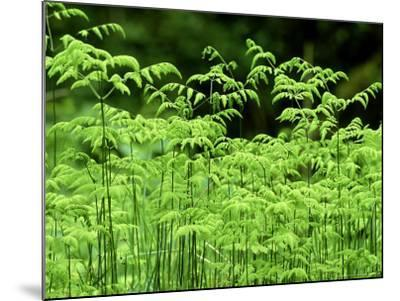 Oak Fern, Inverness-Shire, Scotland-Iain Sarjeant-Mounted Photographic Print
