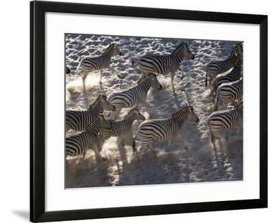 Burchells Zebra, Group Running, Botswana-Mike Powles-Framed Photographic Print